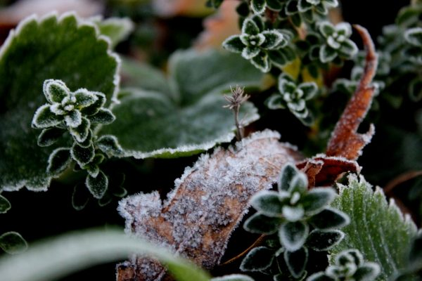 frost, do the work of thankfulness, joy, late fall strawberry leaves, lemon thyme in winter, frost on landscaping, gardening, Minnesota autumns
