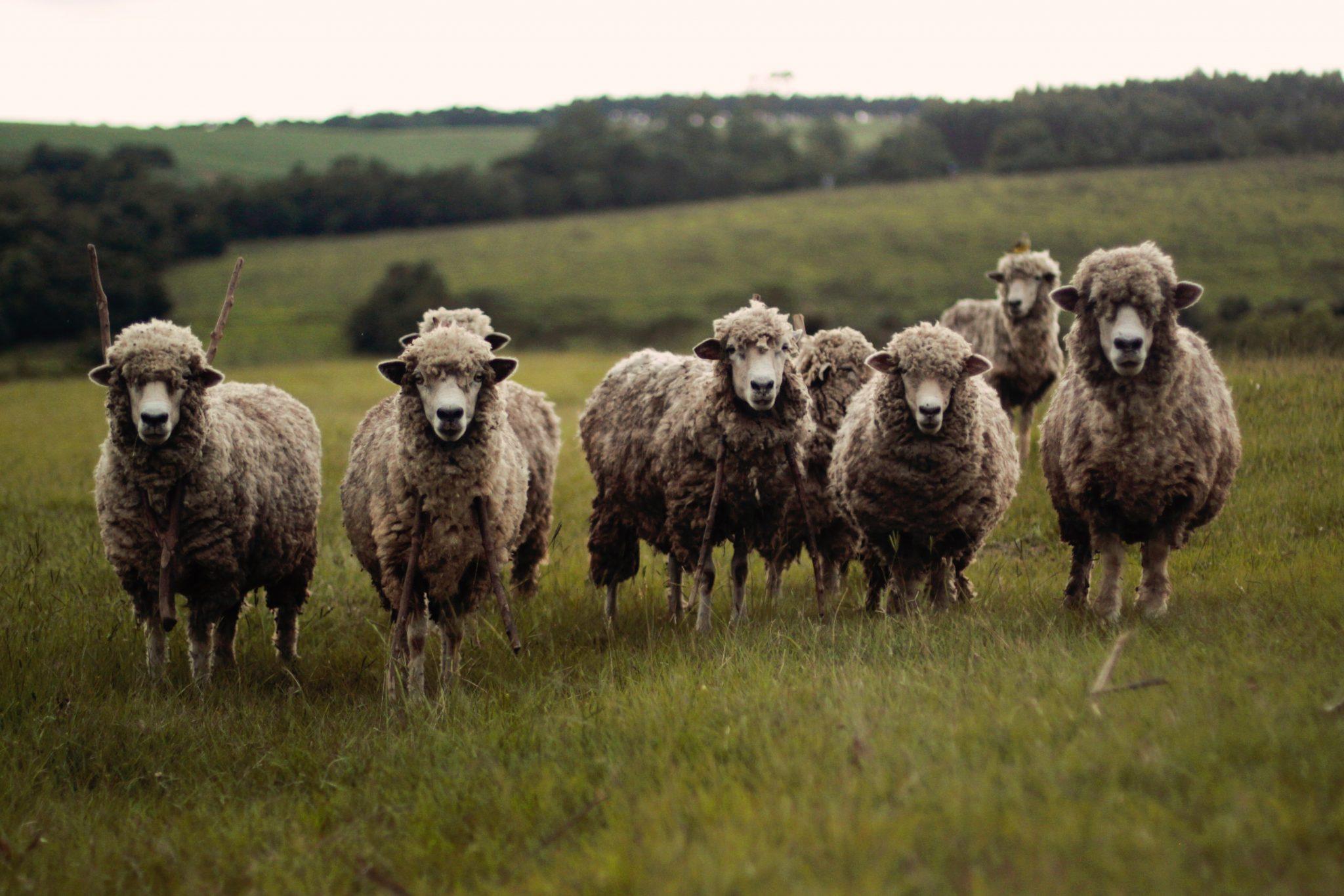 Tending His Flock